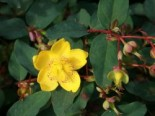 Hohes Johanniskraut, 20-30 cm, Hypericum moserianum, Topfware