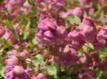Hopfen-Dost 'Kent Beauty', Origanum rotundifolium 'Kent Beauty', Topfware