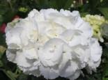 Ballhortensie 'Schneeball' ®, 30-40 cm, Hydrangea macrophylla 'Schneeball' ®, Containerware