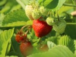 Fragaria 'Honeoye'
