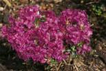 Rhododendron 'W. W. Smith', 25-30 cm, Rhododendron prostratum 'W. W. Smith', Containerware