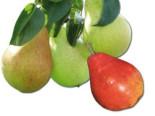 Familienbaum Birne '3 verschiedene Sorten', Stamm 40-60 cm, 120-160 cm, z. B. Sommer-, Herbst-, Winterbirne, Containerware