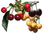 Familienbaum drei verschiedene Kirschsorten