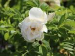 Bodendeckerrose 'Schnee-Eule' ®, Rosa rugosa 'Schneeeule' ®, Containerware