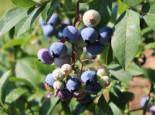 Immergrüne Heidelbeere 'Sunshine Blue', 30-40 cm, Vaccinium corymbosum 'Sunshine Blue', Containerware