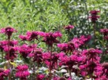 Monarda fistulosa 'On Parade'
