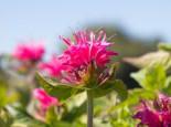 Indianernessel 'Pink Lace', Monarda fistulosa 'Pink Lace', Topfware
