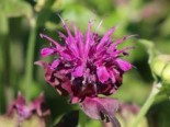 Indianernessel 'Saxon Purple', Monarda fistulosa 'Saxon Purple', Topfware