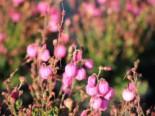Irische Heide 'Rosella', 10-15 cm, Daboecia cantabrica 'Rosella', Topfware