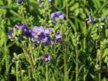 Jakobsleiter 'Bambino Blue', Polemonium caeruleum 'Bambino Blue', Topfware