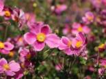 Japan-Herbst-Anemone 'Splendens', Anemone hupehensis 'Splendens', Topfware