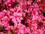 Japanische Azalee 'Babuschka' ®, 25-30 cm, Rhododendron obtusum 'Babuschka' ®, Containerware