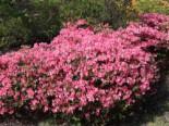 Japanische Azalee 'Diamant Lachs' ®, 20-25 cm, Rhododendron obtusum 'Diamant Lachs' ®, Containerware