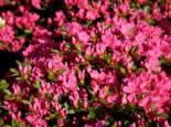 Japanische Azalee 'Diamant Rot' ®, 20-25 cm, Rhododendron obtusum 'Diamant', Containerware