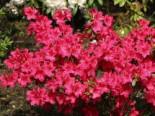 Japanische Azalee 'Georg Arends', 20-25 cm, Rhododendron obtusum 'Georg Arends', Containerware