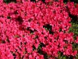 Japanische Azalee 'Gislinde', 20-25 cm, Rhododendron obtusum 'Gislinde', Containerware