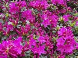 Japanische Azalee 'Hans Scholl', 20-25 cm, Rhododendron obtusum 'Hans Scholl', Containerware
