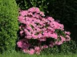 Japanische Azalee 'Kermesina Rosé', 30-40 cm, Rhododendron obtusum 'Kermesina Rosé', Containerware