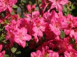 Japanische Azalee 'Kirstin', 20-25 cm, Rhododendron obtusum 'Kirstin', Containerware