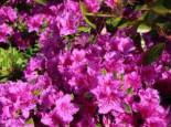 Japanische Azalee 'Königstein', 20-25 cm, Rhododendron obtusum 'Königstein', Containerware