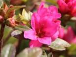 Japanische Azalee 'Labe', 20-25 cm, Rhododendron obtusum 'Labe', Containerware