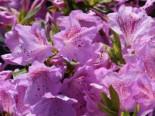 Japanische Azalee 'Ledikanense', 20-25 cm, Rhododendron obtusum 'Ledikanense', Containerware