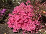 Japanische Azalee 'Madame Albert van Hecke', 20-25 cm, Rhododendron obtusum 'Madame Albert van Hecke', Containerware