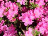 Japanische Azalee 'Maiogi', 20-25 cm, Rhododendron obtusum 'Maiogi', Containerware