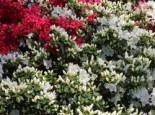 Japanische Azalee 'Maischnee' ®, 20-25 cm, Rhododendron obtusum 'Maischnee' ®, Containerware