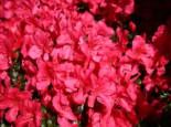 Japanische Azalee 'Maruschka' (S), 25-30 cm, Rhododendron obtusum 'Maruschka' ®, Containerware