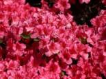 Japanische Azalee 'Michiko', 30-40 cm, Rhododendron obtusum 'Michiko', Containerware