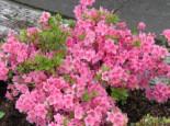 Japanische Azalee 'Oslava', 20-25 cm, Rhododendron obtusum 'Oslava', Containerware
