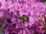 Japanische Azalee 'Otava', 20-25 cm, Rhododendron obtusum 'Otava', Containerware