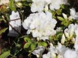 Japanische Azalee 'Panda', 25-30 cm, Rhododendron obtusum 'Panda', Containerware
