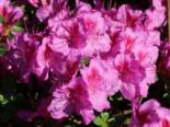Japanische Azalee 'Peppina' ®, 25-30 cm, Rhododendron obtusum 'Peppina' ®, Containerware
