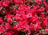 Japanische Azalee 'Purpurkissen' (S), 30-40 cm, Rhododendron obtusum 'Purpurkissen' (S), Containerware