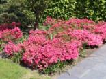 Japanische Azalee 'Rokoko', 25-30 cm, Rhododendron obtusum 'Rokoko', Containerware