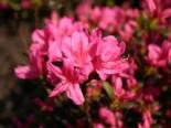Japanische Azalee 'Rosalind', 20-25 cm, Rhododendron obtusum 'Rosalind', Containerware