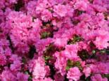 Japanische Azalee 'Rosinetta' ®, 20-25 cm, Rhododendron obtusum 'Rosinetta' ®, Containerware