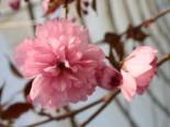 Japanische Nelkenkirsche 'Royal Burgundy', Stamm 80-90 cm, 100-125 cm, Prunus serrulata 'Royal Burgundy', Stämmchen