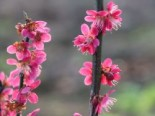 Japanische Zier-Aprikose 'Beni-shidare' / 'Beni Shidori' / 'Beni Chidori', 60-80 cm, Prunus mume 'Beni-shidare' / 'Beni Shidori' / 'Beni Chidori', Containerware