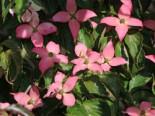 Japanischer Blumen-Hartriegel 'Beni Fuji', 60-80 cm, Cornus kousa 'Beni Fuji', Containerware