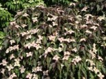 Japanischer Blumen-Hartriegel 'Cappuccino', 60-80 cm, Cornus kousa 'Cappuccino', Containerware
