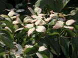 Japanischer Blumen-Hartriegel 'Dwarf Pink', 40-60 cm, Cornus kousa 'Dwarf Pink', Containerware