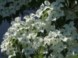 Japanischer Blumen-Hartriegel 'Fanfare', 40-60 cm, Cornus kousa 'Fanfare', Containerware