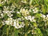 Japanischer Blumen-Hartriegel 'Goldstar', 60-80 cm, Cornus kousa 'Goldstar', Containerware
