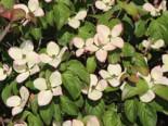 Japanischer Blumen-Hartriegel 'Heart Throb', 80-100 cm, Cornus kousa 'Heart Throb', Containerware