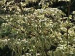 Japanischer Blumen-Hartriegel 'Silver Pheasant', 40-60 cm, Cornus kousa 'Silver Pheasant', Containerware