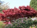 Japanischer Fächerahorn 'Fireglow', 40-60 cm, Acer palmatum 'Fireglow', Containerware
