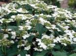 Japanischer Schneeball 'Summer Snowflake', Stamm 60-80 cm, Viburnum plicatum 'Summer Snowflake', Stämmchen